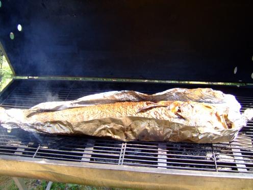 poisson; maigre; estuaire de gironde